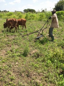 """This oxen and plough has been purchased by the Ross Namutumba Link Organisation to help the Namutumba Town Council help """"vulnerables"""" set up their own business."""